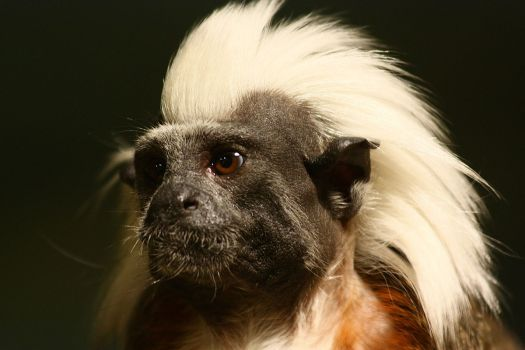 1200px-Punk_monkey_at_Zoo_Schwerin