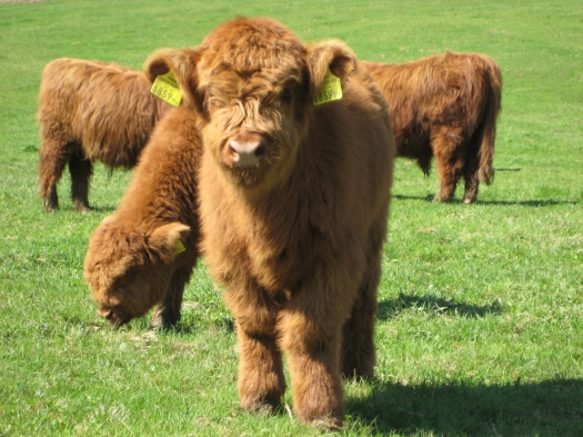 Highland_Cattle_4.jpg