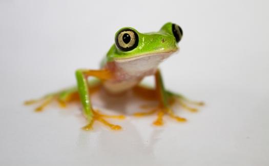 Hylomantis_lemur_-_Lemur_leaf_frog(1)