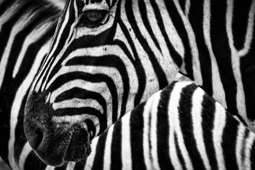 texture-zebra-stripes-47349
