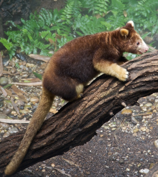 Matschies_tree_kangaroo_Dendrolagus_matschiei_at_Bronx_Zoo_1_cropped(1)