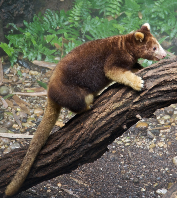 Matschies_tree_kangaroo_Dendrolagus_matschiei_at_Bronx_Zoo_1_cropped(1)
